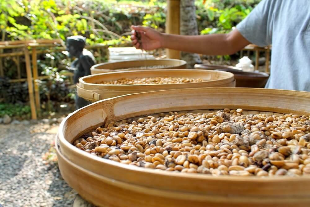 luwak-coffee-plantation